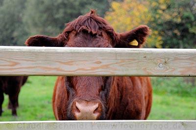 Kuh, die nicht erkannt werden will